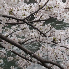 Цветение сакуры началось в Токио на два дня раньше, чем в 2014 году