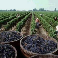 Доминикана становится привлекательным направлением для виноделов
