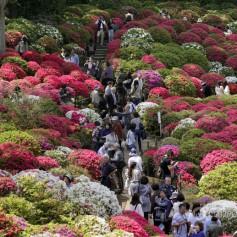 Невероятная красота: в Японии зацвели тысячи азалий