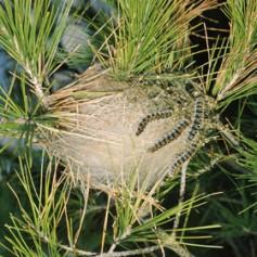 Туристов на Куршской косе напугали сосновым шелкопрядом