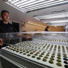 Индейцы откроют первый в США марихуановый курорт
