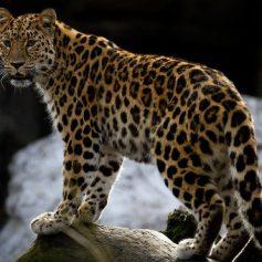 В Китае откроют национальный парк для сохранения тигров и леопардов