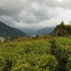 Власти Абхазии готовятся открыть чайный туристический маршрут