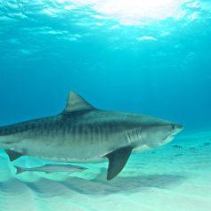 На Багамских островах дайвер загипнотизировал акулу