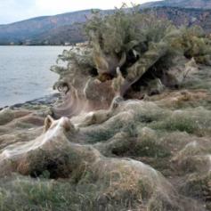 Пауки оплели пляж в Греции 300-метровой паутиной