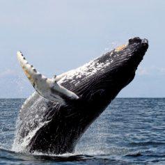 Доминикана приглашает туристов понаблюдать за китами