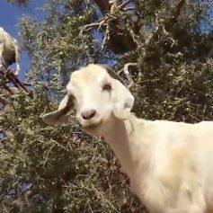 Фермеры обманывали туристов козами на деревьях в Марокко