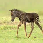 Необычная зебра «в горошек» родилась в Кении